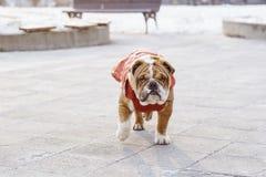 English bulldog pup in the park. English bulldog pup walking in outdoor,selective focus Royalty Free Stock Photo