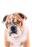 English bulldog pup portrait Stock Photo