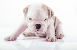 English bulldog pup posing Royalty Free Stock Image