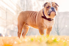 English bulldog pup posing in the park Royalty Free Stock Images