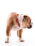 English bulldog pup Stock Image