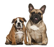 English Bulldog puppies, 2 and a half months old Stock Images