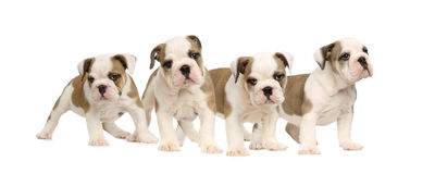 English bulldog puppies Royalty Free Stock Photos