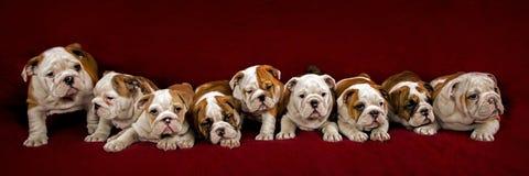 English bulldog puppies Stock Images