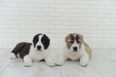 English bulldog puppies playing in Studio on white background stock photo