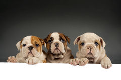 English bulldog puppies Royalty Free Stock Image