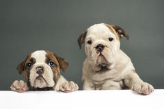 English bulldog puppies. Stock Photography