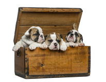English bulldog puppies in a wooden chest Royalty Free Stock Photography