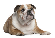 English Bulldog puppy, 10 months old, lying Stock Photo