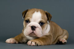 English bulldog puppy. royalty free stock photo