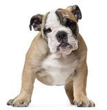 English Bulldog puppy, 11 weeks old, standing Stock Images