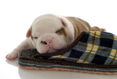 English bulldog puppy. Sleeping with slipper - three weeks old Stock Images