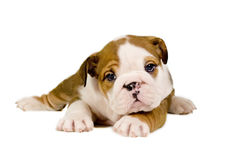 English Bulldog puppy. Royalty Free Stock Images