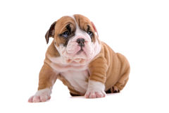 English bulldog puppy stock photos