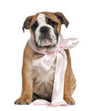 English Bulldog puppy, 2 and a half months old Stock Image