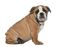 English Bulldog puppy, 2 and a half months old Royalty Free Stock Image