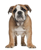 English Bulldog puppy, 2 and a half months old Royalty Free Stock Photo