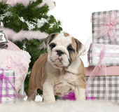 English Bulldog puppy, 2 months old Royalty Free Stock Photos