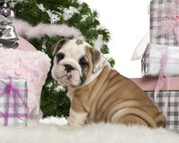 English Bulldog puppy, 2 months old, sitting Royalty Free Stock Photography