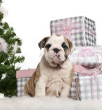 English Bulldog puppy, 2 months old, sitting Stock Photo