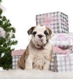English Bulldog puppy, 2 months old, sitting Stock Photo