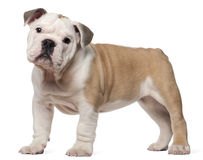 English bulldog puppy, 2 months old, standing Stock Photos