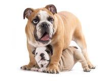 English Bulldog puppy Royalty Free Stock Photos