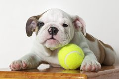 English Bulldog Puppy Royalty Free Stock Images