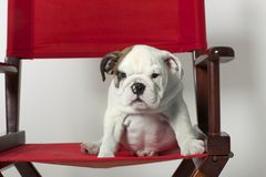 English Bulldog Puppy Stock Photography