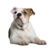 English Bulldog puppy, 3 months old, lying Royalty Free Stock Photography