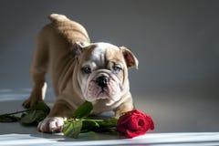 English Bulldog Puppy Stock Photography