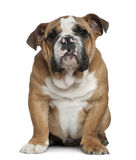 English bulldog puppy, 4 months old Royalty Free Stock Photography