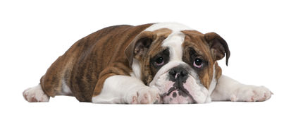 English Bulldog puppy, 4 months old, lying. In front of white background Stock Images