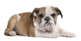 English Bulldog puppy, 4 months old, lying Royalty Free Stock Photos