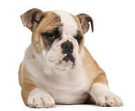English bulldog puppy, 4 months old, lying Royalty Free Stock Images