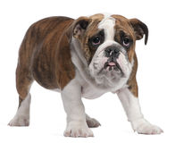 English Bulldog puppy, 4 months old, standing Royalty Free Stock Photos