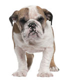 English Bulldog puppy, 4 months old, standing Stock Images