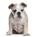 English Bulldog puppy, 5 months old, sitting Stock Photos
