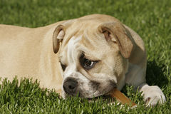 English Bulldog Puppy. Female English Bulldog puppy lying in the grass with her chew toy stock images
