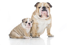English bulldog puppy with adult bulldog isolated stock photos