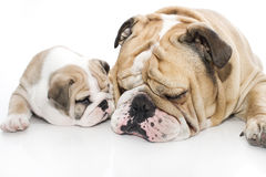 English bulldog puppy and adult bulldog isolated Royalty Free Stock Image
