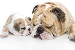 English bulldog puppy and adult bulldog isolated Royalty Free Stock Image