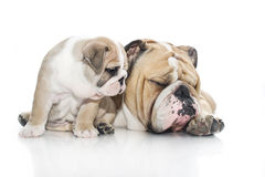 English bulldog puppy and adult bulldog isolated Stock Image