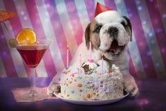 English Bulldog puppy birthday Stock Image