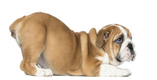 English Bulldog Puppy bottom up looking up, 2 months old Royalty Free Stock Image