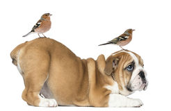 English Bulldog Puppy bottom up with two common chaffinch on head and tail Stock Image