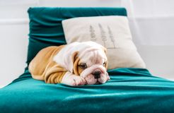 English Bulldog puppy in the chair. The puppy of the English bulldog lies on a chair Royalty Free Stock Photo