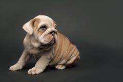 English  bulldog puppy. Royalty Free Stock Photo