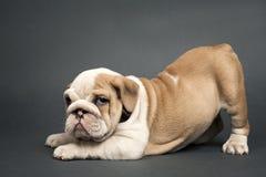 English  bulldog puppy. Royalty Free Stock Photography