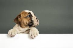 English  bulldog puppy. Stock Photo